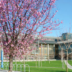 Cherry Blossoms at UC Merced